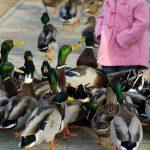 Mädchen mit Enten