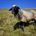 Wasser, Schaf
