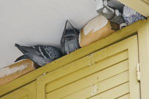 Tauben Brüten in Nischen im Außenbereich
