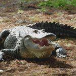 Alligatorgehege ohne Absperrung