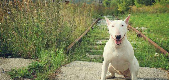 Miniatur-Bullterrier gefährlicher Hund