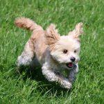 Maltesermischling gefährlicher Hund