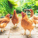 Hühnerhaltung ländlich geprägtes Gebiet