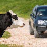 Kuh Schaden Fahrzeug